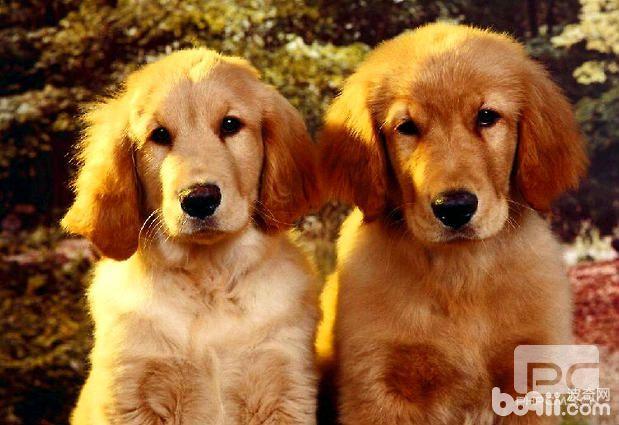 金毛犬的标准体型与体重