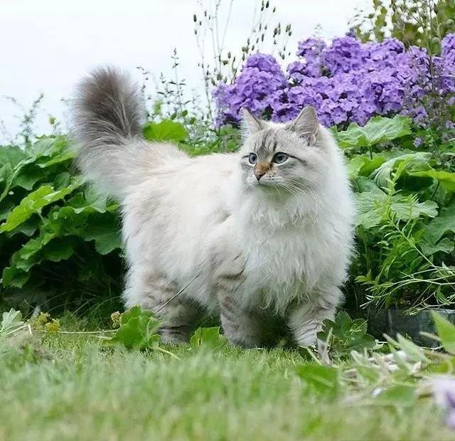 西伯利亚森林猫