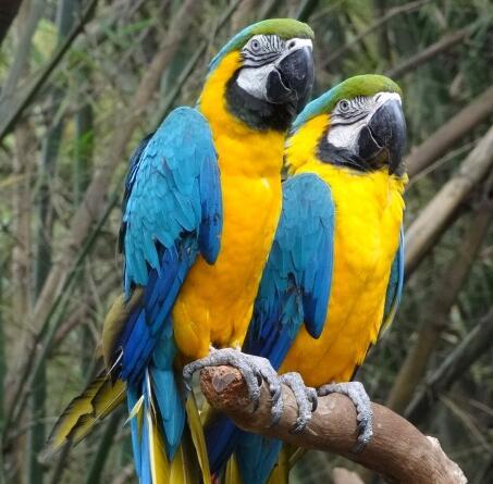 黄蓝金刚鹦鹉
