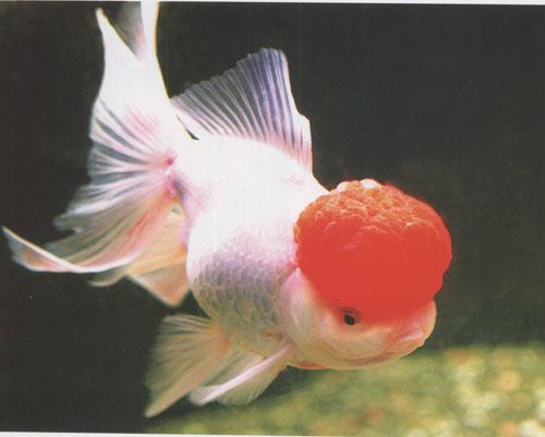 鹤顶红金鱼