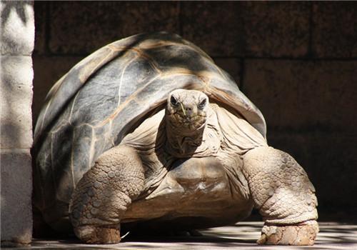 亚达伯拉象龟